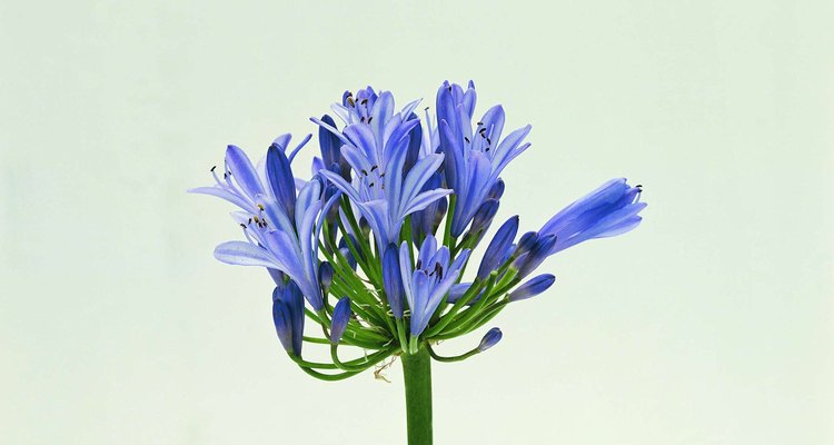 Las cabezas de flores de agapanthus están compuestas por múltiples flores pequeñas.