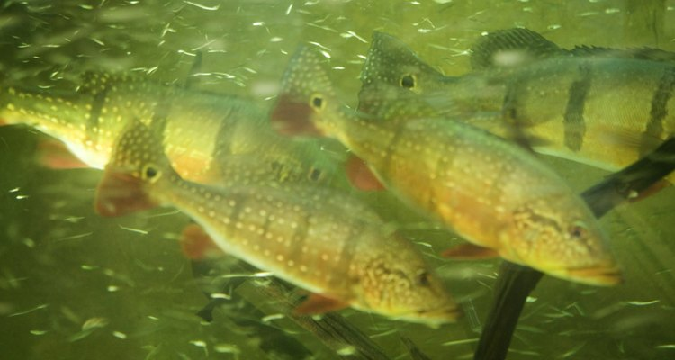 Male fish relentlessly pursue female fish while mating.
