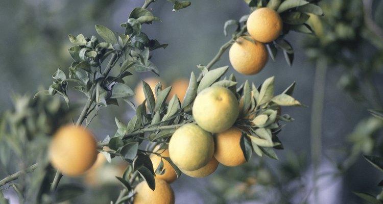 Los naranjos que se cultivan a partir de semillas deben llegar a la madurez antes de dar frutos.