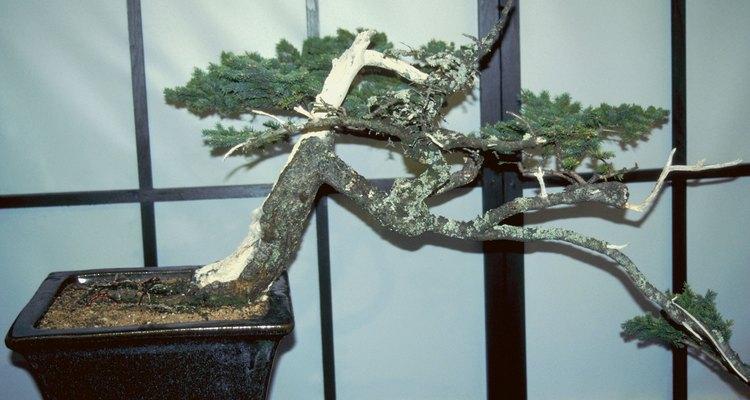 Os entusiastas que cultivam pequenas árvores de bonsai devem estar preparados para os galhos que quebram acidentalmente