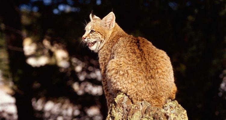 O lince-pardo é pequeno, mas ainda sim maior do que os gatos domésticos