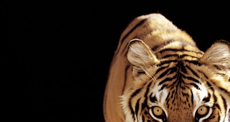 """Shere Khan, personagem famoso de """"O Menino Lobo"""" escrito por Rudyard Kipling, é um tigre devorador de homens"""