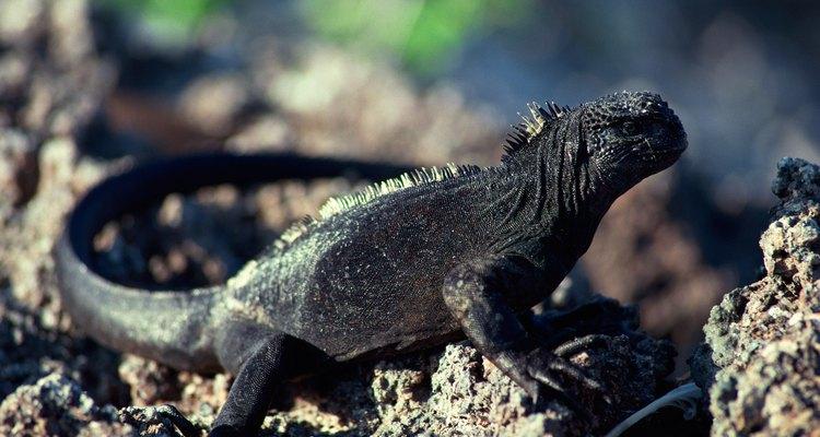 Iguanas machos e fêmeas terão diferenças de tamanho e atitude