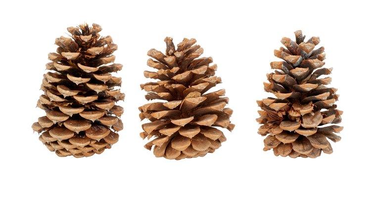 Recoger piñas es el primer paso para cultivar pinos.
