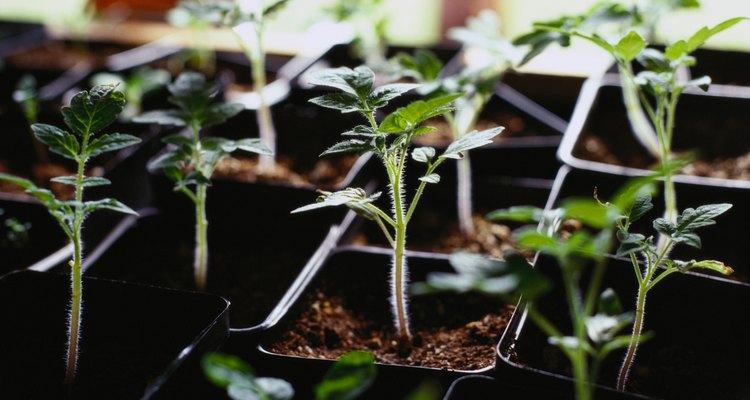 Los tomates son una planta de jardín muy popular.