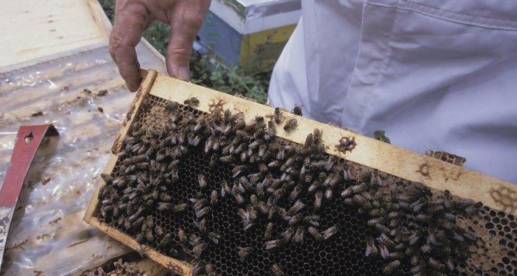 Las abejas producen cera para sellar su panal.