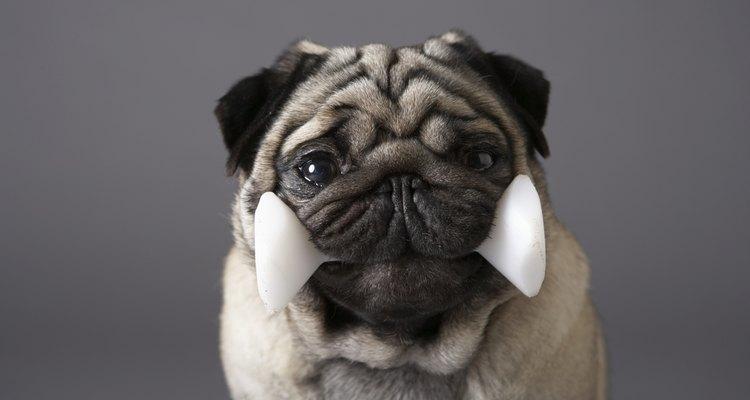 O cão e seu osso são inseparáveis, mas se for osso de galinha é melhor tomar cuidado