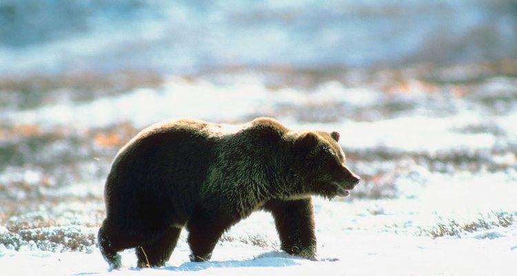 Los osos pardos son animales solitarios.
