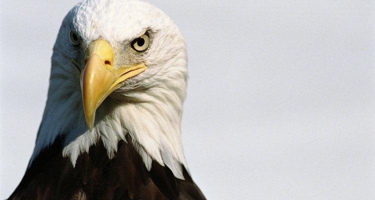 A águia-de-cabeça-branca é considerada o símbolo da América