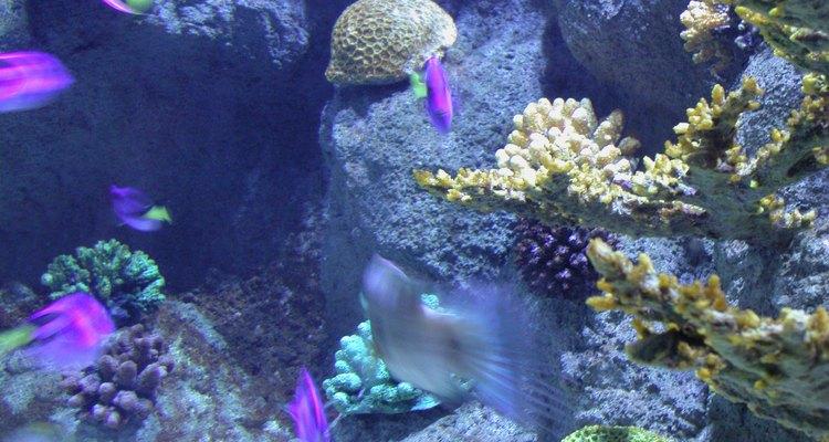 Vermes de sangue são uma fonte de alimento natural para os peixes de aquário, mas eles podem ser indesejáveis para o aquarista