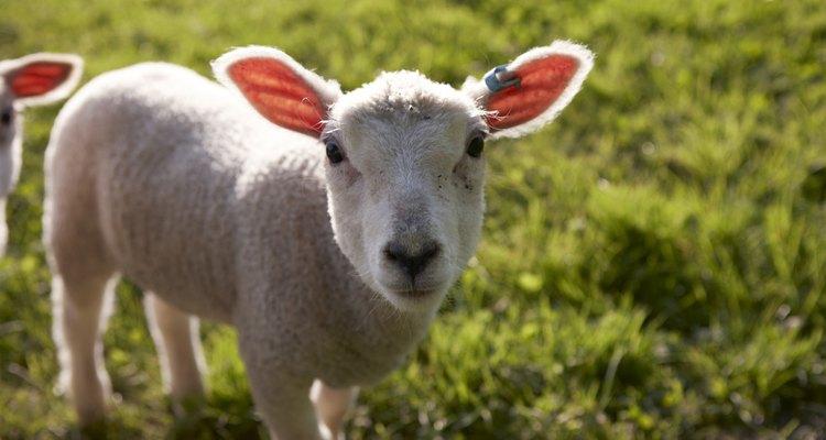Preste atenção em sua ovelha para garantir que esteja amamentando os filhotes