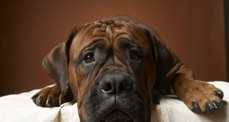 Existem cães que mastigam tudo