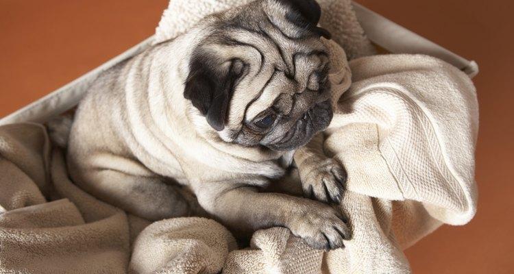 Observa cómo respiran los cachorros pug. Sus narices achatadas pueden causarles problemas al respirar.