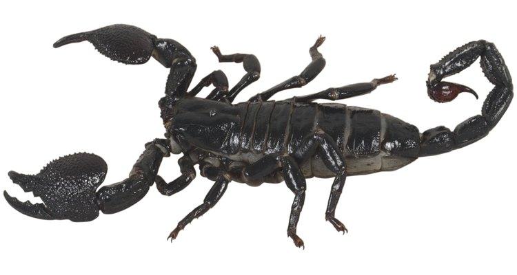 Há vários sinais que indicam que os escorpiões podem estar presentes em uma casa