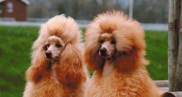 Los poodles son conocidos por su pelo crespo y rizado.