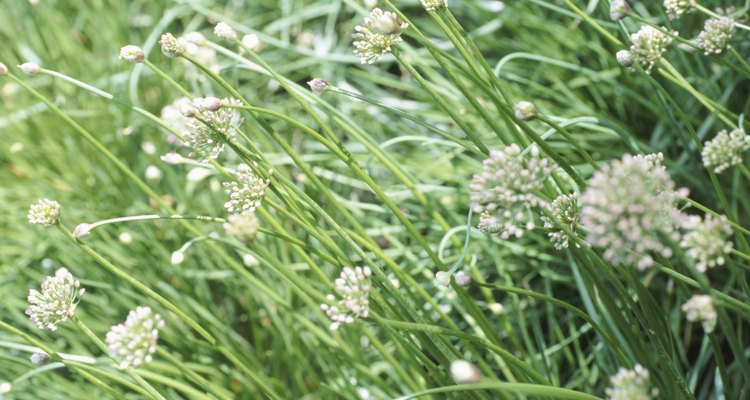 Chives can become persistent pests if left to grow unchecked.