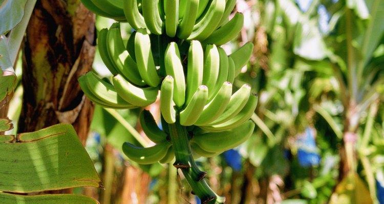 Cada pseudotallo de una planta de plátano produce frutos sólo una vez.