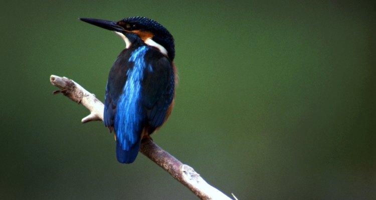 O martim-pescador é um símbolo comum da ave mitológica de gelo