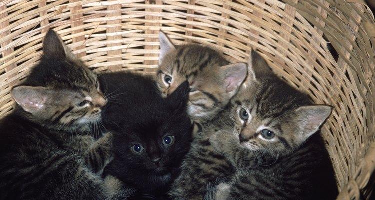 Quase imediatamente depois de dar à luz as gatas começam a cuidar e amamentar seus filhotes