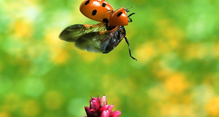 As flores também são fonte de alimento para as joaninhas