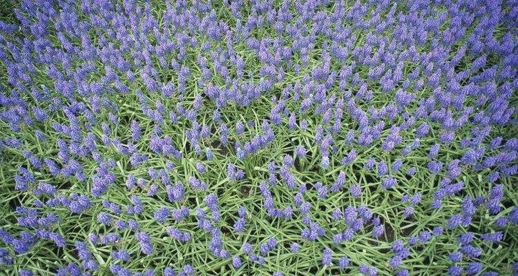 Grape hyacinths multiply on their own.