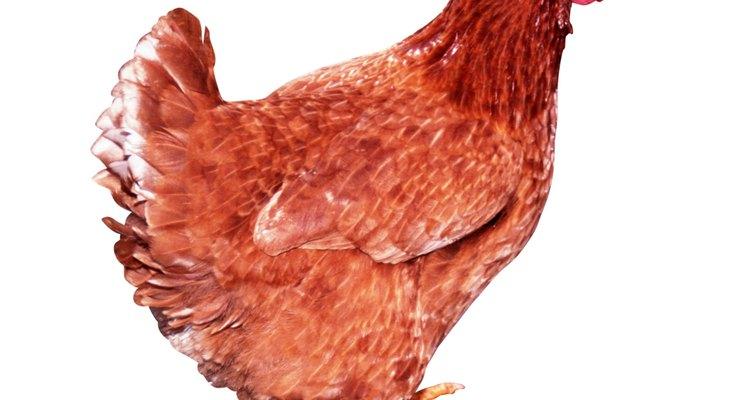 Cuide das suas galinhas