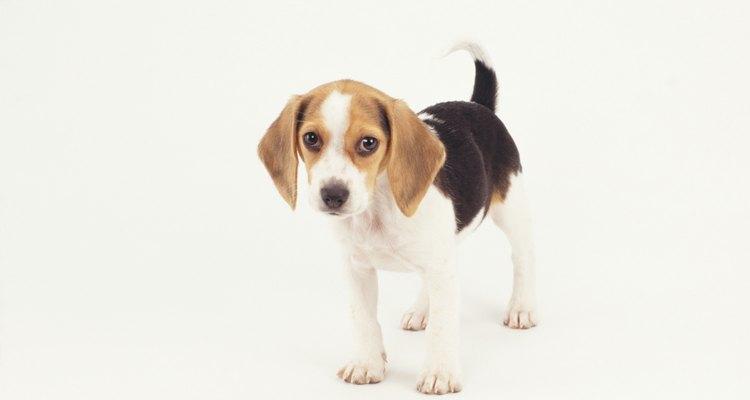 Los mini beagle también son conocidos como beagles de bolsillo.