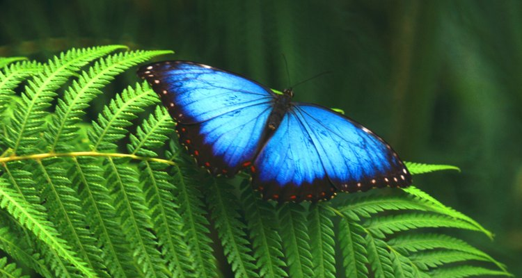 The blue morpho butterfly hides the bright colour of its wings when it flies.