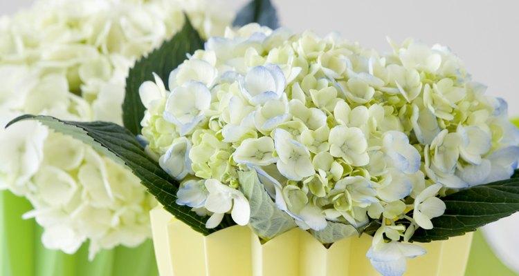 Otra razón para el amarillamiento de las hojas de hortensia es una afección conocida como clorosis férrica.