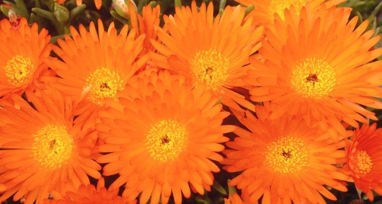 Hay muchas flores que pueden florecer durante todo el año si la temperatura es la adecuada.