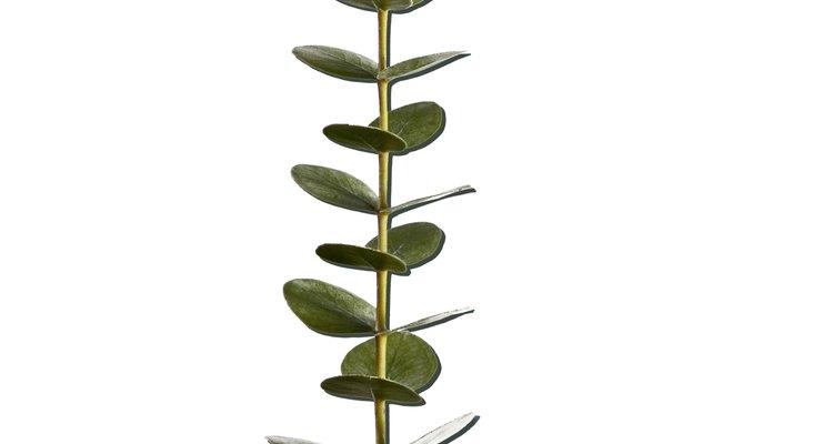 As folhas de eucalipto são tóxicas para animais e seres humanos