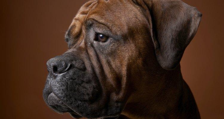 Brown boxer dog, close-up