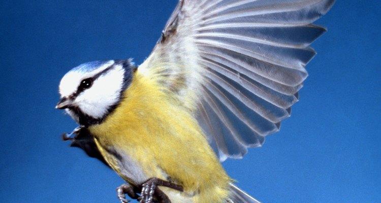 Chapim: um dos representantes das aves passeriformes