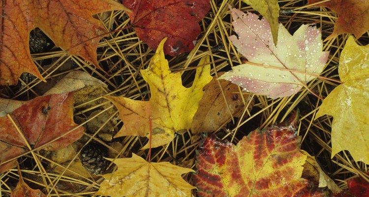 Sugar maple tree leaves are three-lobed.