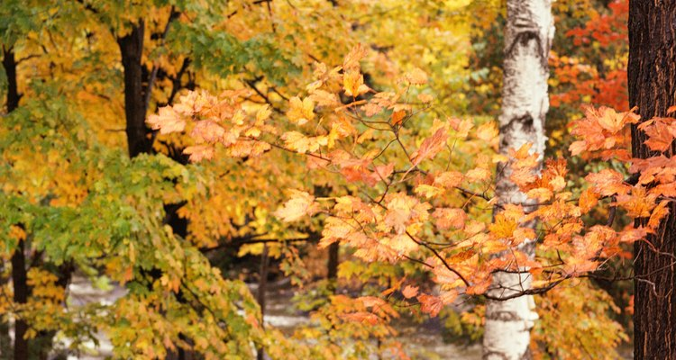 The silver birch's leaves are bright green in summer and yellow in fall.