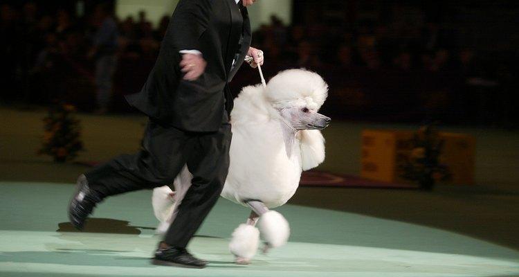 Poodle con su manejador en el ring.
