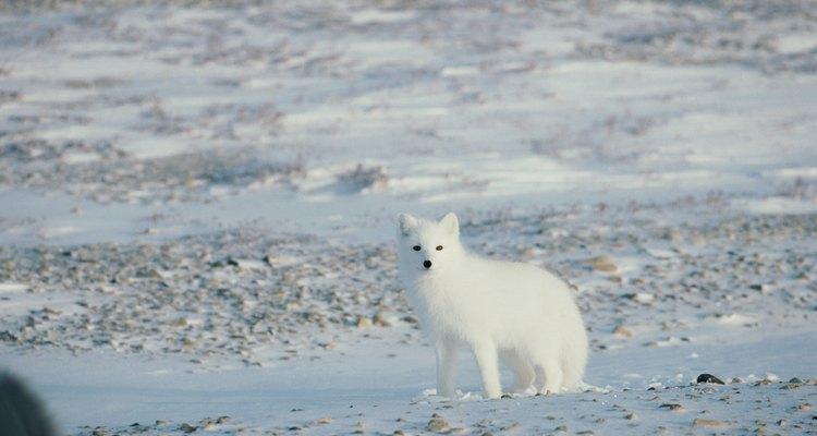 A tundra do Ártico é vulnerável