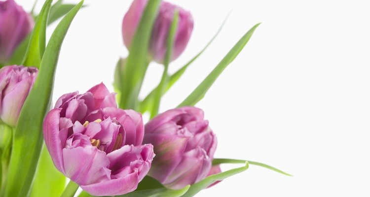 El tulipán ha sido cultivado en Turquía debido a su importancia en el arte y la cultura turcas.
