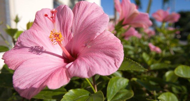 A planta do hibisco é tóxica para animais