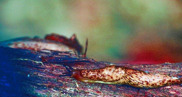 Las babosas se parecen a los caracoles sin caparazón.