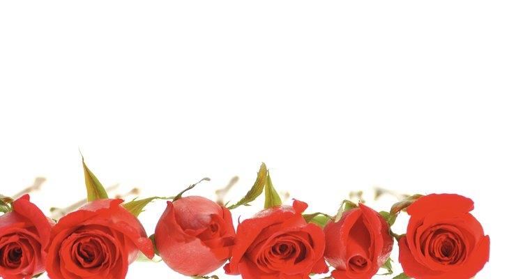 Al cortar las rosas quieres evitar las burbujas de aire en los tallos, ya que evitará la ingesta de agua.