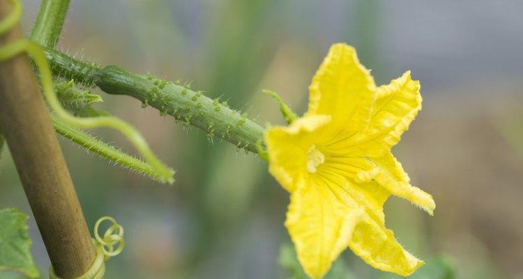 Cultivar pepinos em uma parreira irá mantê-los fora da terra e saudáveis