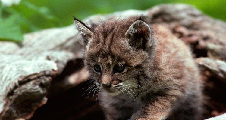 Quais são os tratamentos para piolho em filhotes de gatos?