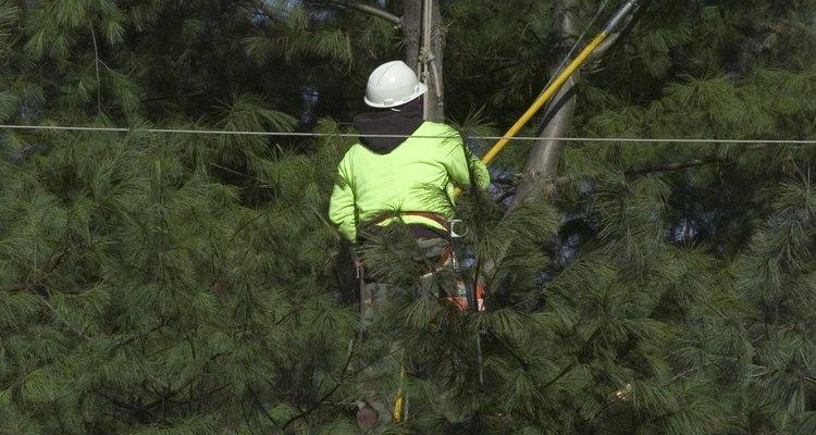 O trabalho pode ser mais dispendioso se a árvore não estiver livre de linhas elétricas e edifícios