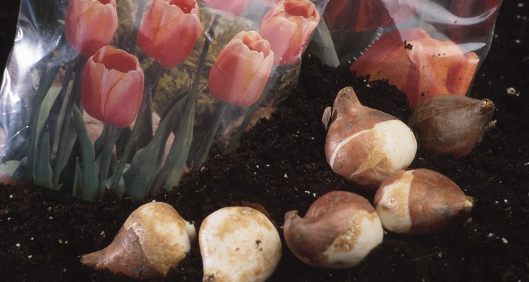 Tulips and tulip bulbs