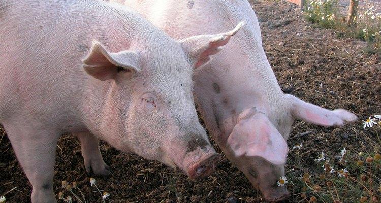Los cerdos miniatura son mucho más pequeñas que las razas de cerdos normales.