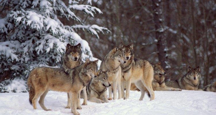 Lobos cinzentos são caçadores espertos que usam sua inteligência e velocidade superiores para comer muitos animais