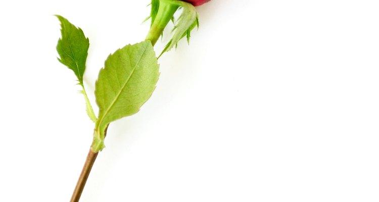 Uma única rosa possui vários significados