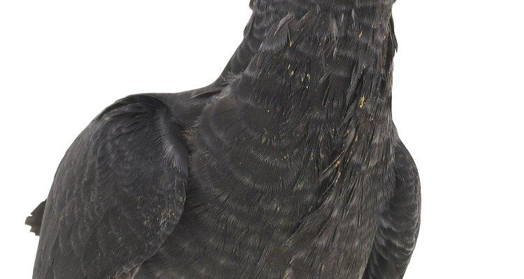 Las cacatúas son aves inteligentes y al igual que los loros, puedes enseñarles a cantar canciones y hablar.