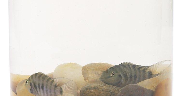 O tempo médio de gestação de um guppy é 28 dias